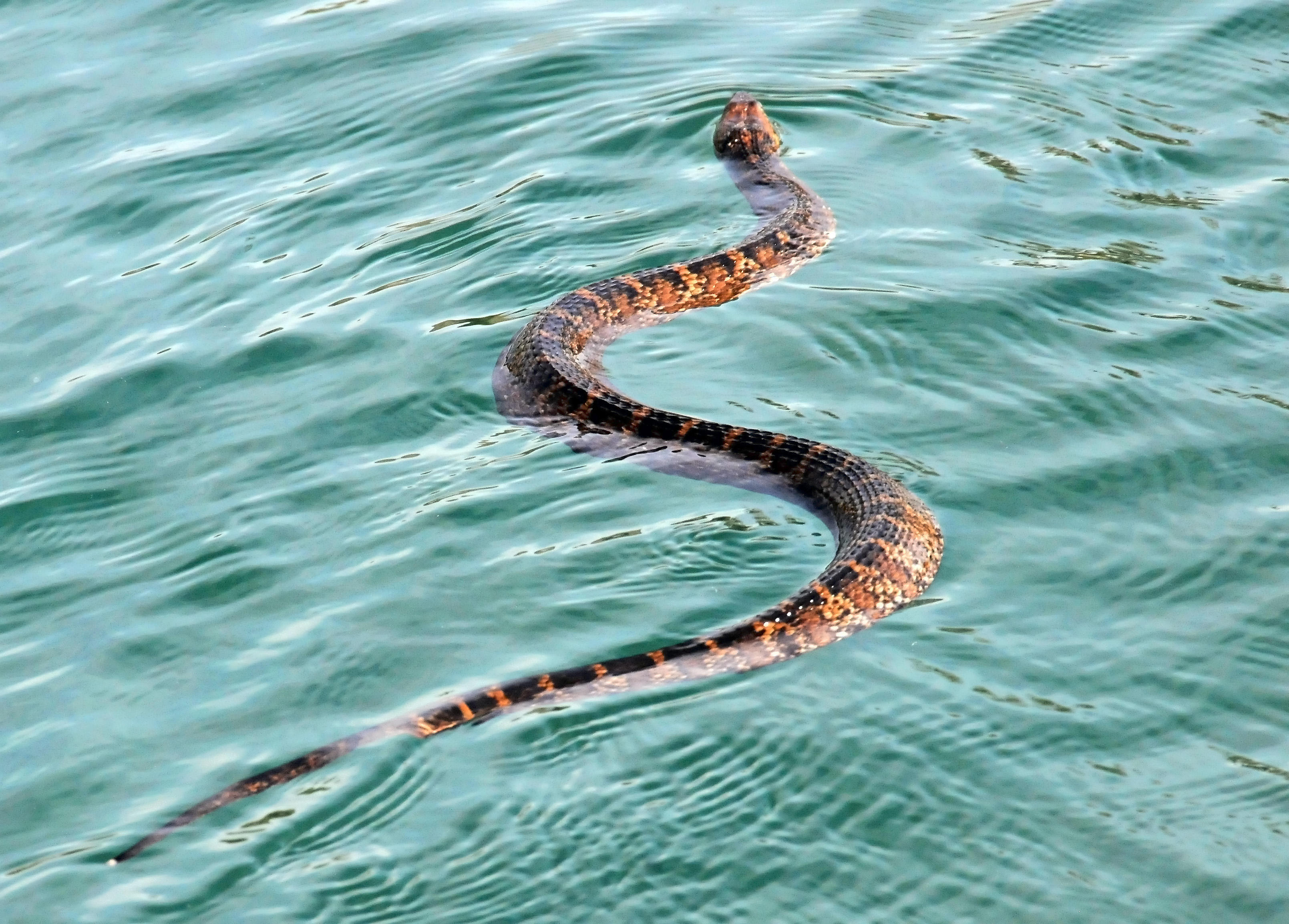 Rare burrowing water snake discovered from Western Ghats ... |Snake Like Water Animals
