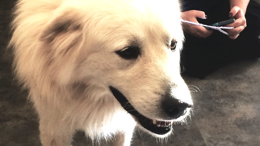 Brian the Great Pyrenees goes home