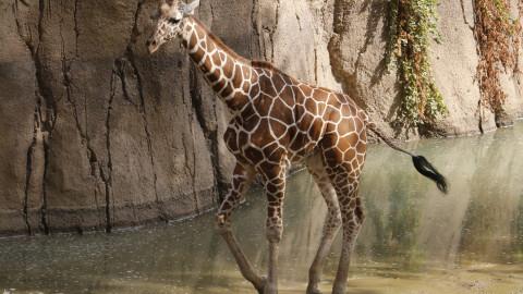 Dallas Zoo celebrating Kopano the giraffe's first birthday today