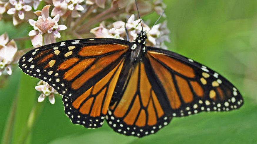 Mayor Rawlings signs pledge to protect the Monarch butterfly in North Texas
