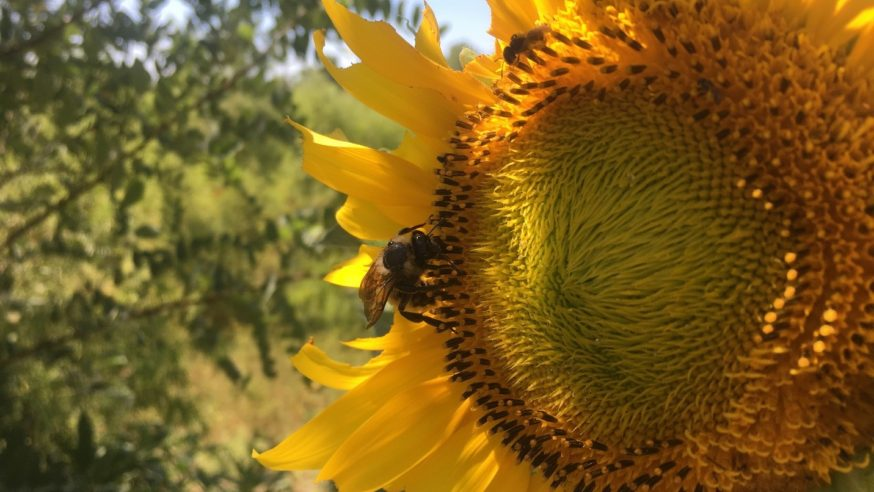 Honeybees helping to protect Dallas' natural resources