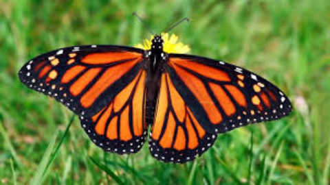 Monarch Butterflies are heading to Dallas