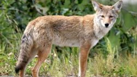 Coyote in your neighborhood? Here's what to do and what not do